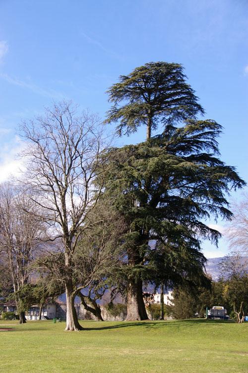 cèdre parc de Rochepleine