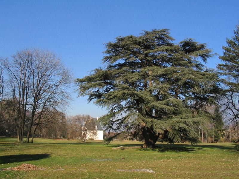Cèdre du Liban - Parc château de Sassenage