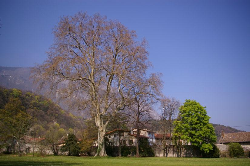 Platane et marronnier - château de Sassenage