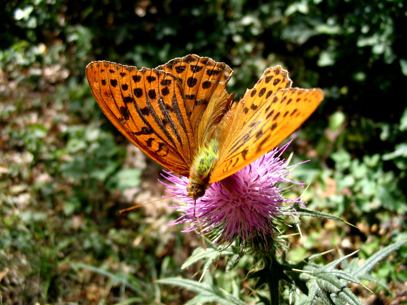 Papillon - Tabac d'Espagne