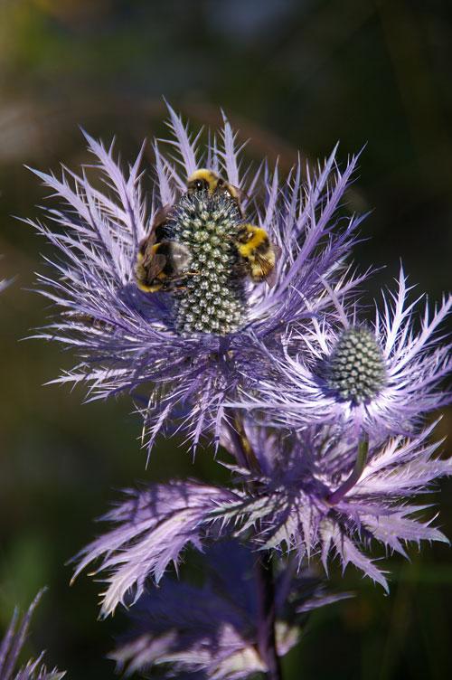 chardon abeilles